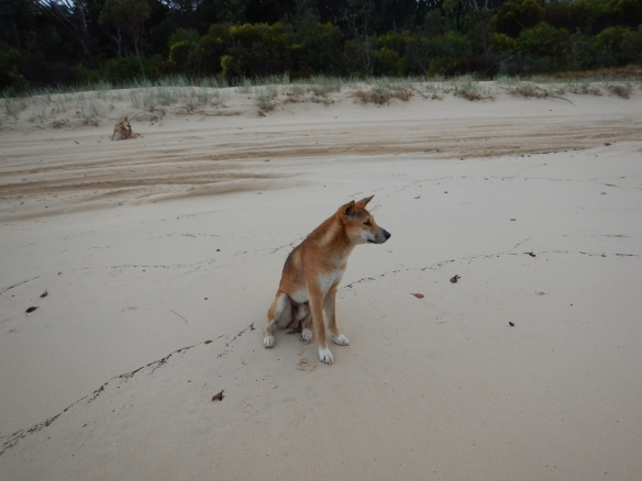 A dingo checking us out on the beach