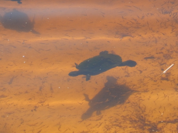 Freshwater turtle in Lake Allom